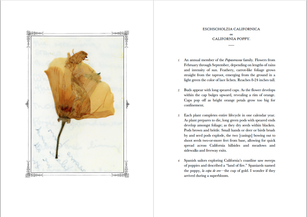Two-page spread of a pressed California poppy and an encyclopedic entry about the flowers